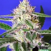 Cheese Bomb (Bomb Seeds) feminized