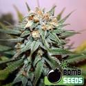 Hash Bomb (Bomb Seeds) feminized