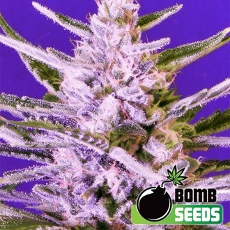 Ice Bomb (Bomb Seeds) feminized