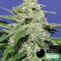 Widow Bomb (Bomb Seeds) feminized