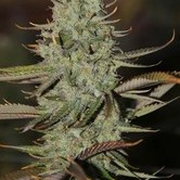 Marionberry Kush (TGA Subcool) regular