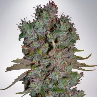Auto Blueberry Domina (Ministry of Cannabis) feminized