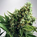 Auto White Widow (Ministry of Cannabis) feminized