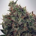 Ultra White Amnesia (Ministry of Cannabis) feminized