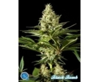 Gratis zaadje (Philosopher Seeds) feminized