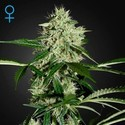 Northern Lights Autoflowering (Greenhouse Seeds) feminized