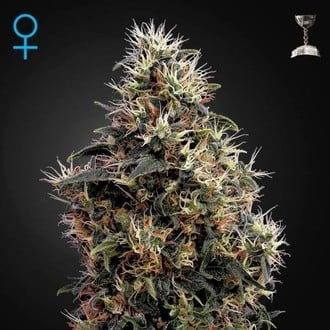 Sweet Mango Autoflowering (Greenhouse Seeds) feminized