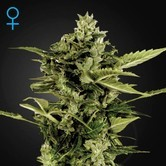 Auto-Bomb Autoflowering (Greenhouse Seeds) feminized