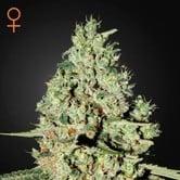 Super Critical (Greenhouse Seeds) feminized