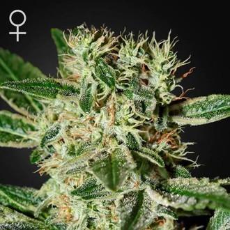 Ladyburn 1974 (Greenhouse Seeds) feminized
