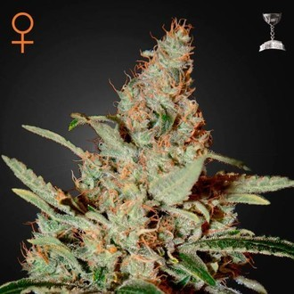 Chemdog (Greenhouse Seeds) feminized
