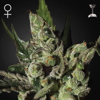 Exodus Cheese (Greenhouse Seeds) feminized