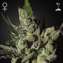 Exodus Cheese (Greenhouse Seeds) feminized