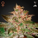 Pure Kush (Greenhouse Seeds) feminized