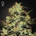 Moby Dick (Greenhouse Seeds) feminized