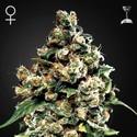 Jack Herer (Greenhouse Seeds) feminized