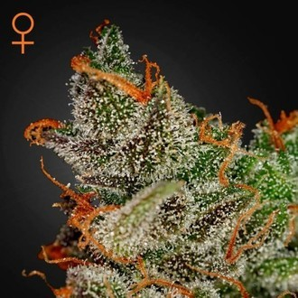 King's Kush (Greenhouse Seeds) feminized