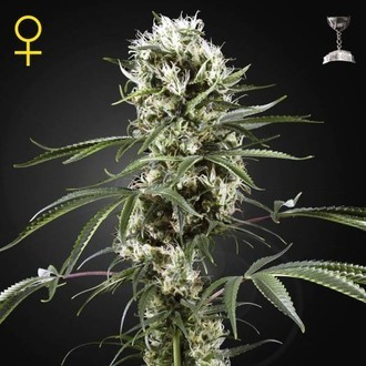 Super Lemon Haze (Greenhouse Seeds) feminized