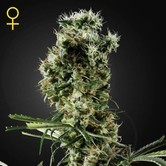 Arjan's Haze 2 (Greenhouse Seeds) feminized