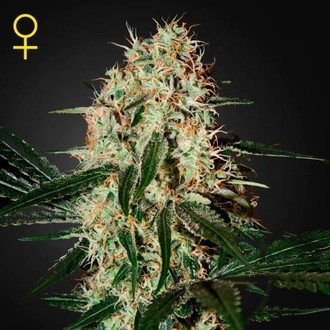 Arjan's Haze 3 (Greenhouse Seeds) feminized