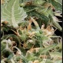 Arjan's Ultra Haze 1 (Greenhouse Seeds) feminized