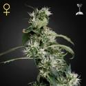 Mango Haze (Greenhouse Seeds) feminized