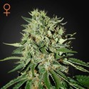 The Doctor (Greenhouse Seeds) feminized