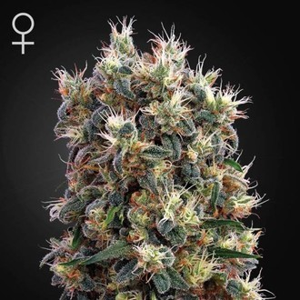 The Church (Greenhouse Seeds) feminized