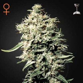 White Rhino (Greenhouse Seeds) feminized