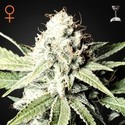 Great White Shark (Greenhouse Seeds) feminized
