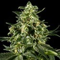 Himalaya Gold (Greenhouse Seeds) feminized
