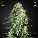 Super Silver Haze (Greenhouse Seeds) feminized