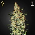 Neville's Haze (Greenhouse Seeds) feminized