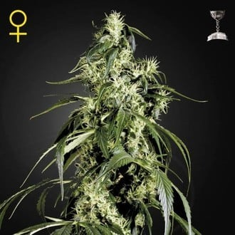 Arjan's Haze 1 (Greenhouse Seeds) feminized