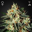 Cheese (Greenhouse Seeds) feminized