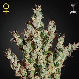 NL5 Haze Mist (Greenhouse Seeds) feminized