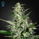 Super Critical Autoflowering (Greenhouse Seeds) feminized