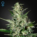 Super Critical Autoflowering (Greenhouse Seeds) feminized