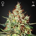 K-Train (Greenhouse Seeds) feminized