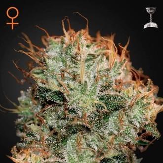 Kaia Kush (Greenhouse Seeds) feminized