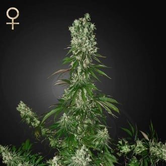 White Strawberry Skunk (Strain Hunters) feminized