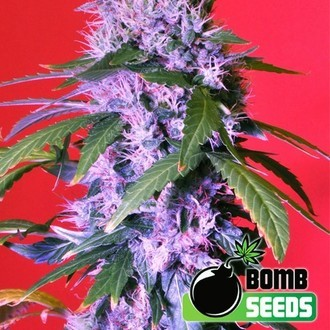 Berry Bomb Auto (Bomb Seeds) feminized