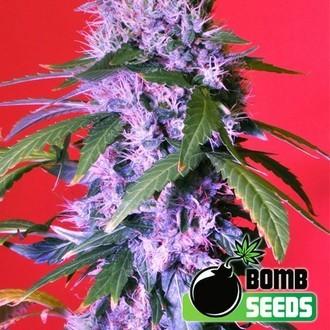 Berry Bomb Auto (Bomb Seeds) feminized