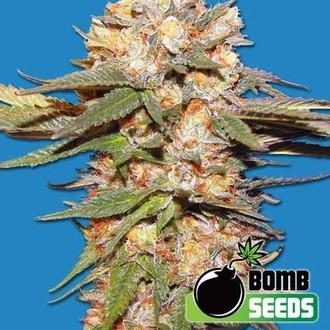 Big Bomb Auto (Bomb Seeds) feminized