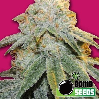 Bubble Bomb (Bomb Seeds) feminized