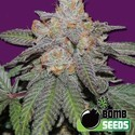 Cherry Bomb Auto (Bomb Seeds) feminized
