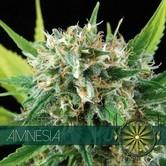 Amnesia (Vision Seeds) feminisiert
