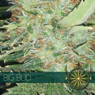 Big Bud (Vision Seeds) feminized