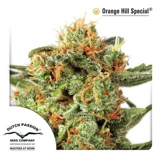 Orange Hill Special (Dutch Passion) feminized