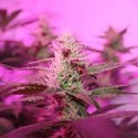 CBD Kush (Dutch Passion) feminized